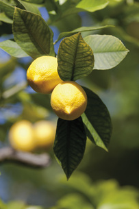 Lemon tree, close upの写真素材 [FYI04336294]