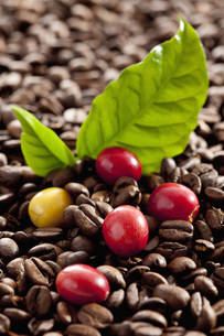 Fresh and roasted coffee beans with leaf, close upの写真素材 [FYI04336347]