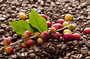 Bean on twig with fresh roasted coffee beans, close upの写真素材 [FYI04336350]