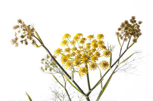 Sweet fennel on white groundの写真素材 [FYI04336471]