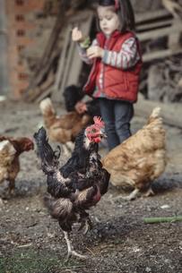 Portrait of black hen in a farm barnyard with little girl inの写真素材 [FYI04336524]