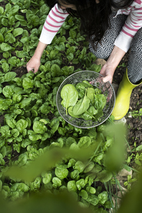Picking spinach in a home garden. Bio spinachの写真素材 [FYI04336875]
