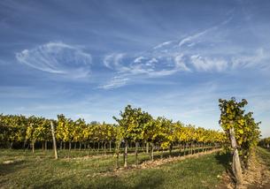 Austria, Lower Austria, Wine Quarter, Straning, vines in theの写真素材 [FYI04337386]
