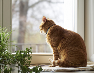 Cat sitting on window sill looking through windowの写真素材 [FYI04337443]