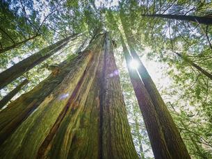 Canada, British Columbia, Redwood Forest, Giant Redwoods, Seの写真素材 [FYI04337452]