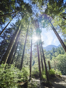 Canada, British Columbia, Redwood Forest, Giant Redwoods, Seの写真素材 [FYI04337453]
