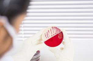 Laboratory technician examining agar plate with bacteriaの写真素材 [FYI04337520]