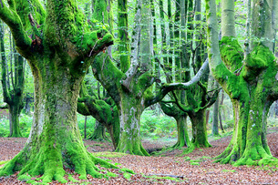 Spain, Gorbea Natural Park, Beech forestの写真素材 [FYI04337674]