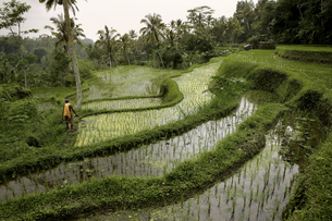 Indonesia, Bali, landscape with rice field and jungleの写真素材 [FYI04337687]