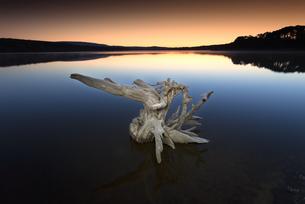 Spain, Soria, root in water of reservoir of La Cuerd la delの写真素材 [FYI04337702]