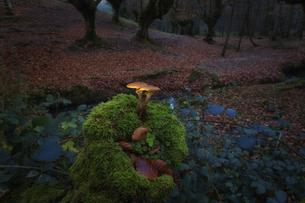 Spain, Basque Country, Gorbea Natural Park, mushrooms growinの写真素材 [FYI04337744]