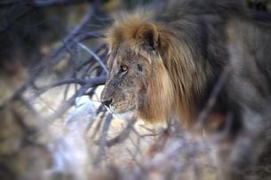 Namibia, Etosha National Park, lionの写真素材 [FYI04337767]