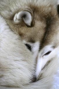 Rolled up Siberian Huskyの写真素材 [FYI04337768]