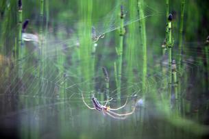 European garden spiderの写真素材 [FYI04337781]