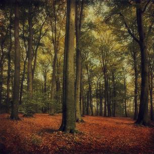 Germany, Wuppertal, Red Beech, Fagus sylvaticaの写真素材 [FYI04337811]