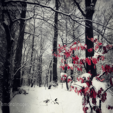 Snow-covered forest with last leavesの写真素材 [FYI04337832]