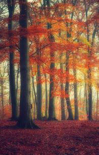 Autumn forestの写真素材 [FYI04337840]