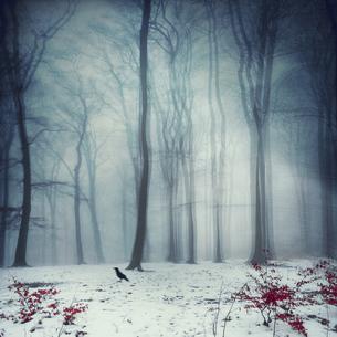 Foggy winter forest, digitally manipulatedの写真素材 [FYI04337845]