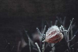 Hoarfrost on Chinese lantern flowerの写真素材 [FYI04337846]