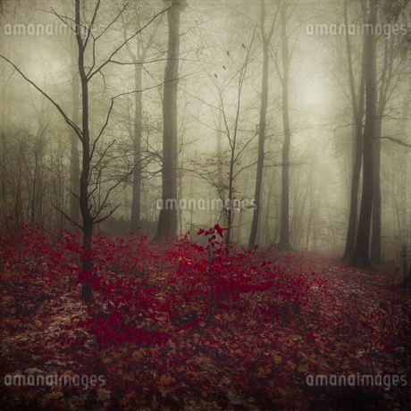 Germany, red autumn leaves in winter forestの写真素材 [FYI04337860]
