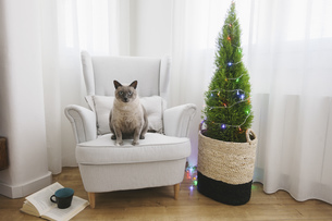 Cat sitting on armchair beside Christmas tree at homeの写真素材 [FYI04338019]
