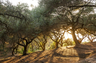 Greece, Corfu, olive orchard at sunsetの写真素材 [FYI04338268]