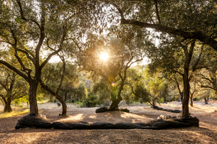 Greece, Corfu, olive orchard at sunsetの写真素材 [FYI04338270]