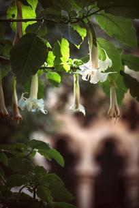 Blossoms of angel's trumpetの写真素材 [FYI04338287]