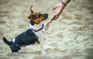 Jack Russell Terrier giving the legの写真素材 [FYI04338288]