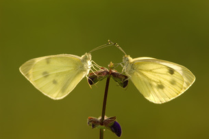 Two cabbage white butterflies sitting on flowerの写真素材 [FYI04338385]