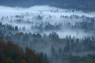 Forest in mist, Fuessen, Bavaria, Germany, elevated viewの写真素材 [FYI04338387]