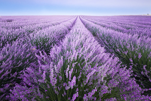 France, Provence, lavender fieldsの写真素材 [FYI04338480]