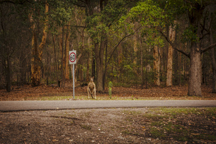 Australia, New South Wales, Kangoroo, (Macropus giganteus) wの写真素材 [FYI04338613]