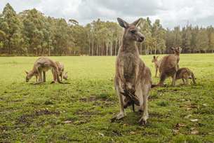 Australia, New South Wales, kangoroos, some with joey (Macroの写真素材 [FYI04338614]