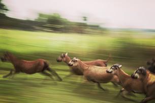 Germany, Kasebade, Running sheepの写真素材 [FYI04338621]