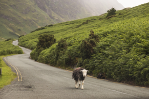 UK, England, sheep walking on country roadの写真素材 [FYI04338737]