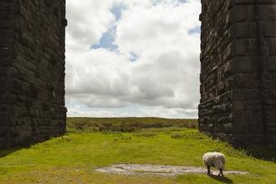 UK, England, North Yorkshire, sheep at Ribblehead Viaductの写真素材 [FYI04338739]