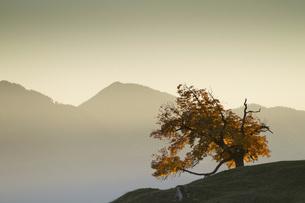 Austria, Tyrol, Inn valley, autumn treeの写真素材 [FYI04338844]
