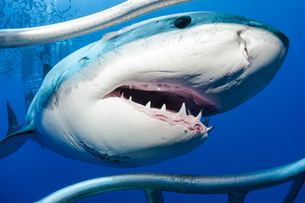Mexico, Guadalupe, Pacific Ocean, white shark, Carcharodon cの写真素材 [FYI04338919]