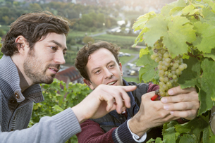 Germany, Bavaria, Volkach, two winegrowers testing grapesの写真素材 [FYI04339091]