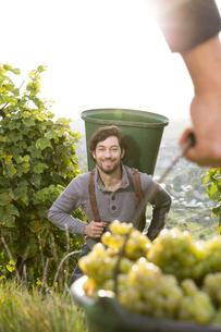 Germany, Bavaria, Volkach, grape harvestの写真素材 [FYI04339092]