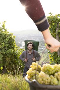 Germany, Bavaria, Volkach, grape harvestの写真素材 [FYI04339094]