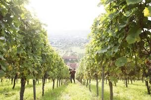 Germany, Bavaria, Volkach, man harvesting grapes in vineyardの写真素材 [FYI04339095]