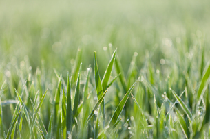 Italy, Grass with dewdrops in morning light, close upの写真素材 [FYI04339371]