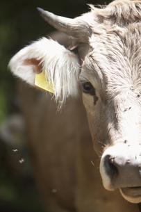 Austria, Milking cow, close upの写真素材 [FYI04339381]