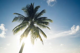 Maldives, Ari Atoll, view to palm in front of sunny skyの写真素材 [FYI04339394]