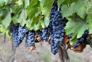 Argentina, Mendoza Province, Maipu, grape variety Malbec vinの写真素材 [FYI04339441]