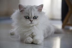 White Persian catの写真素材 [FYI04340079]