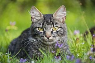 Cat in meadowの写真素材 [FYI04340080]