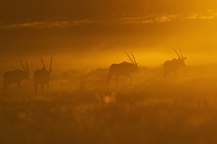 Africa, Botswana, Mabuasehube, Group of gemsbuck in kgalagadの写真素材 [FYI04340083]